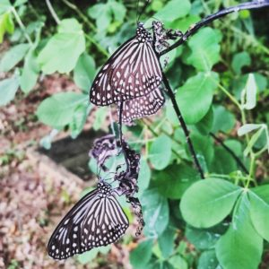 Dark Glassy Tiger Butterflies, Pulau Ubin